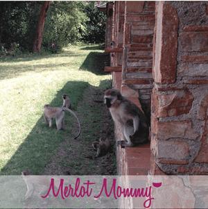 keekorok-vervets-monkeys