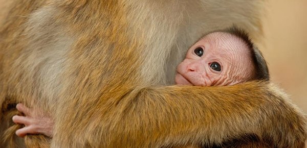 Disneynature MONKEY KINGDOM Now Playing! Review and Resources #MonkeyKingdom #AvengersEvent