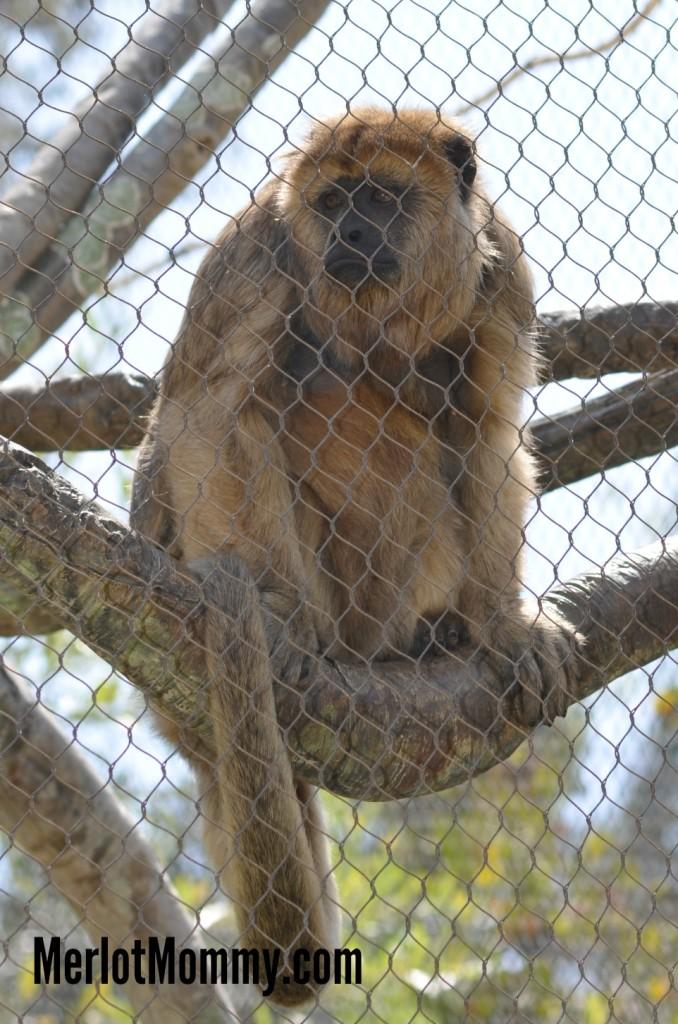 My Visit to the #LAZoo for Monkey Kingdom #MonkeyKingdom #AvengersEvent