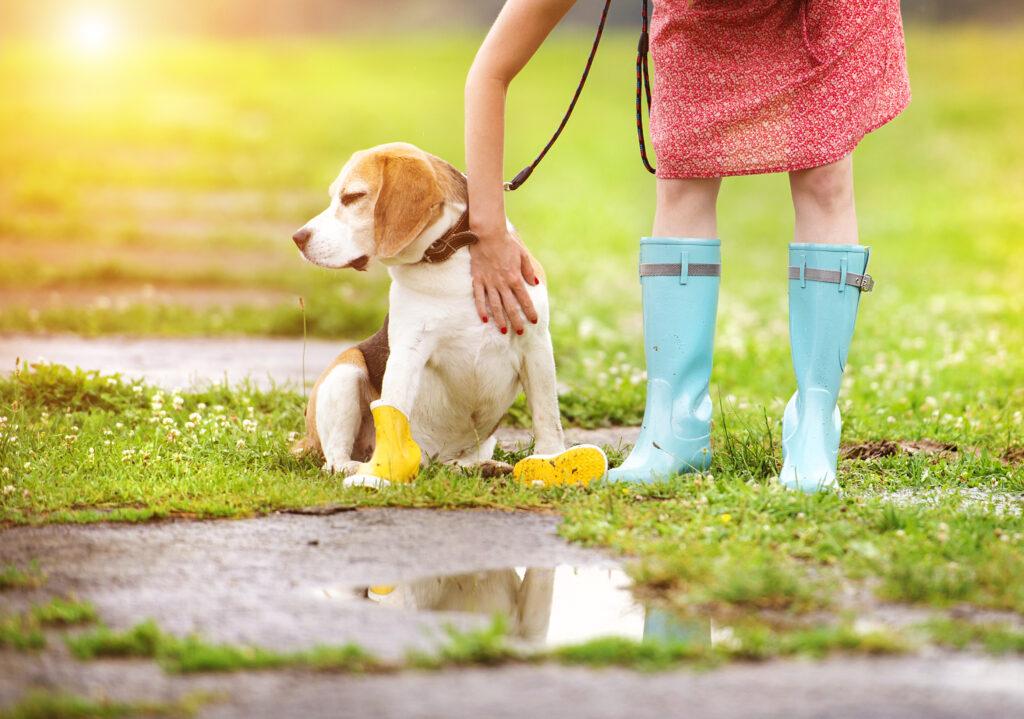 beagle in wellies