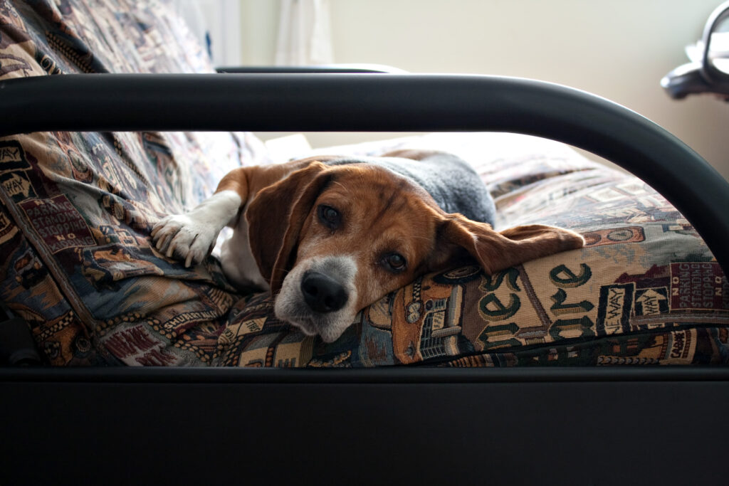 young beagle dog laying on a futon couch